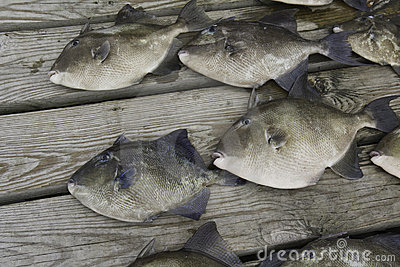 Gray trigger fish caught by sport fishermen