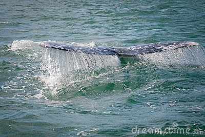 Gray whale flips his tail