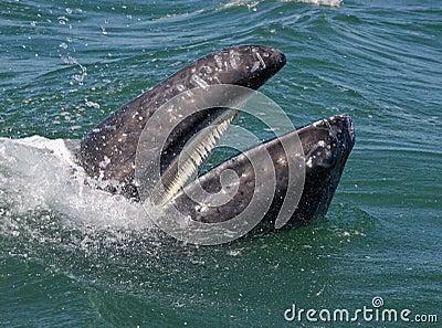 Gray whale s baleen