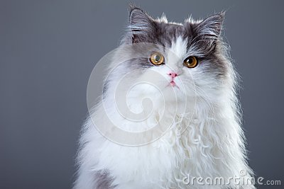 Gray and white persian cat on grey background