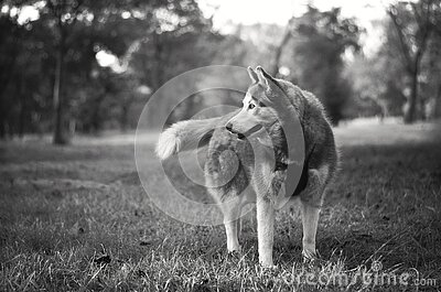 Gray And White Siberian Husky In Grayscale Free Public Domain Cc0 Image