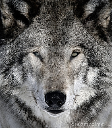 Free Gray Wolf Stock Images - 10046924
