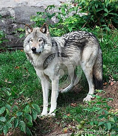 Free Gray Wolf Stock Image - 16422731