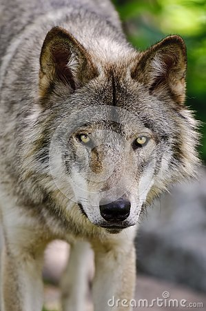 Free Gray Wolf Close Up Head Shot Looking Forward. Stock Images - 128254234