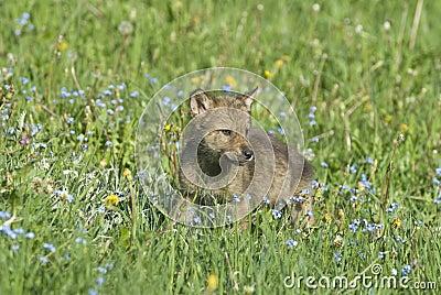 Gray wolf cub