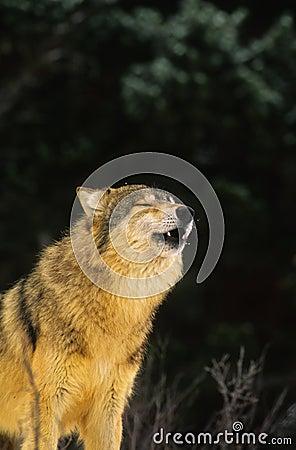 Gray Wolf Communication