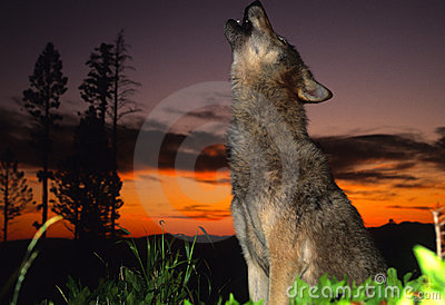 Gray Wolf Howling at Sunset