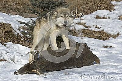 Gray wolf on kill