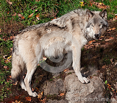 Gray Wolf Looking at the Camera