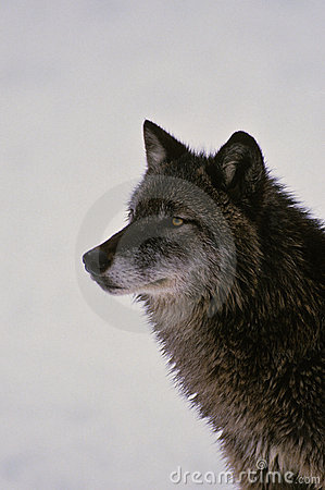 Gray Wolf Portrait