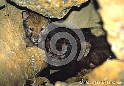 Gray Wolf Pups in Den