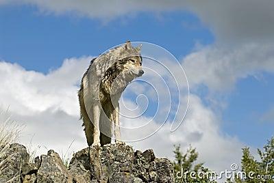 Gray wolf on ridgeline