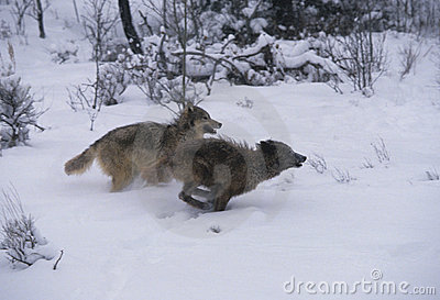 Gray Wolves Running