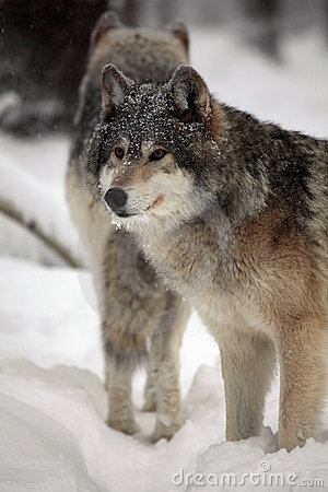 Gray Wolves In Winter