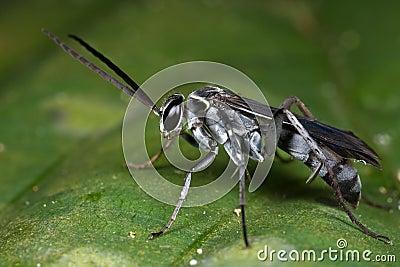 A grayish black spider wasp