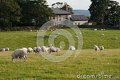 Grazeing lambs