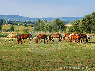 Grazer horses in Balaton uplands, Hungary