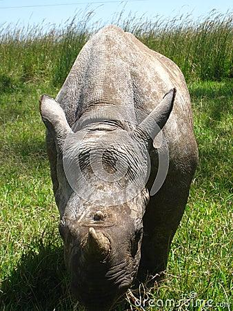Grazing baby rhino.