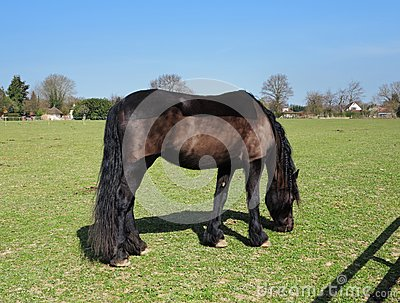 Grazing Bay Horse with Plaited Mane