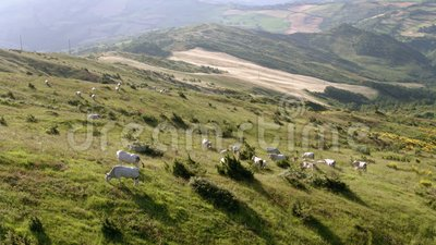 Grazing cattle with cultivated fields in the background stock footage