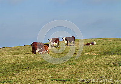 Grazing Cattle in an English Meadow