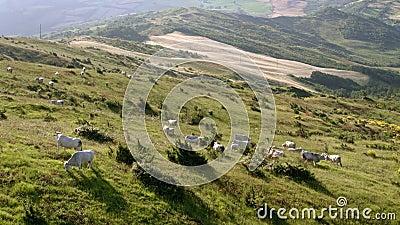 Grazing cattle on green meadow stock video footage