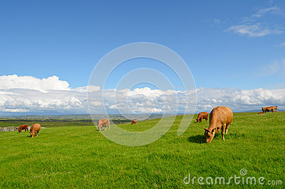 Grazing cows in the meadow