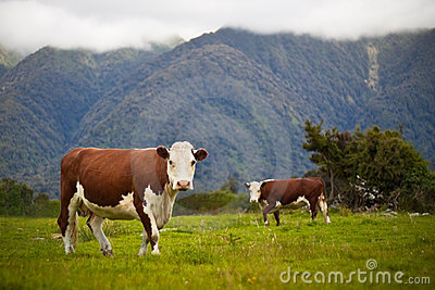Grazing cows in New Zealand