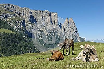 Grazing cows, Seiser Alm