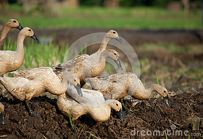 Grazing Ducks