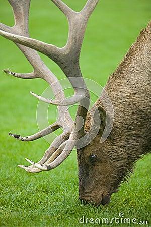 Free Grazing Elk Stock Photo - 9238590