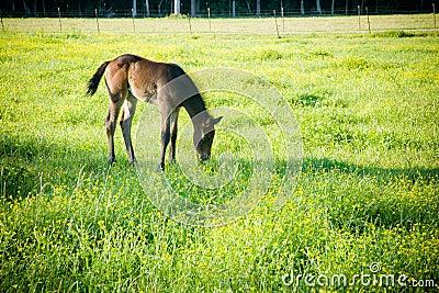Grazing Foal