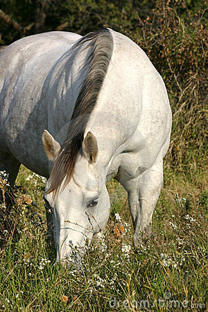 Free Grazing Gray Horse Royalty Free Stock Photography - 309877