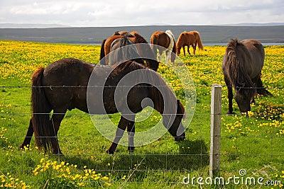 Grazing Icelandic Horses