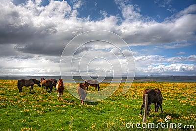 Grazing Icelanic Horses