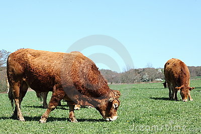 Grazing Limousin Bull Profile Horizontal