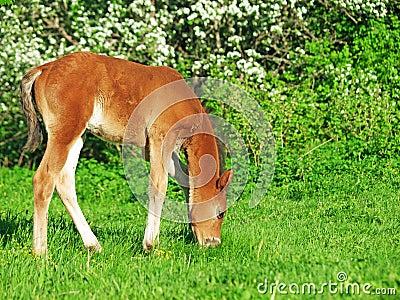 Grazing  little  bay Hanoverian foal
