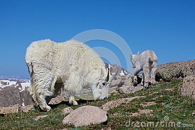 Grazing Mountain Goat Nanny and Baby