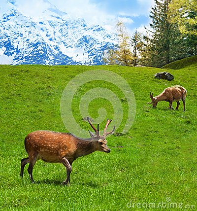 Free Grazing Mountain Goats Royalty Free Stock Image - 33996786