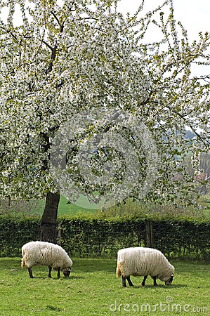 Grazing sheep in fruityard in full blossom