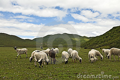 Grazing Sheep in a Lush Meadow
