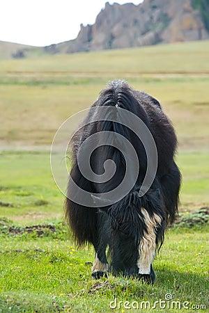 Grazing yak