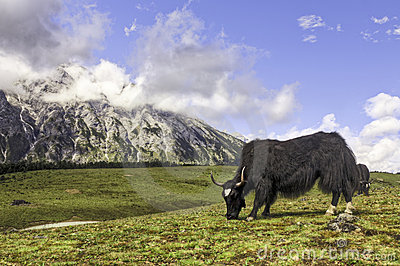 Grazing Yak in the Mountains