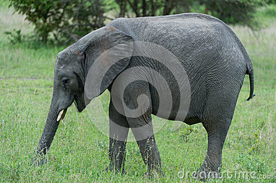 Grazing young elephant