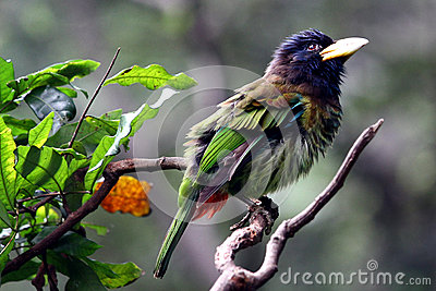 Bird - Great Barbet