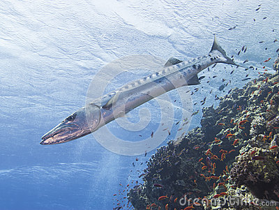 Great barracuda on a tropical reef