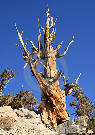 Great Basin Bristlecone Pine Tree