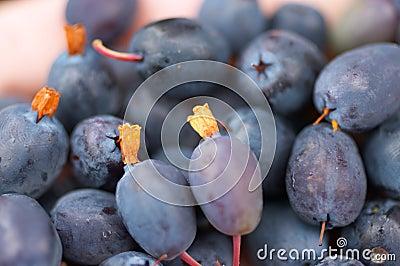 Great bilberry harvest