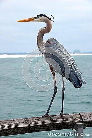 Free Great Blue Heron Stock Photo - 110851510