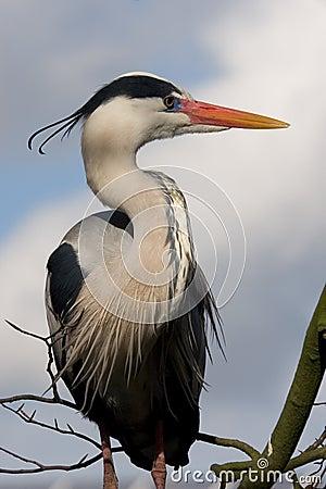 Free Great Blue Heron Royalty Free Stock Image - 2066866
